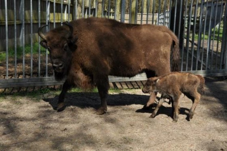 Krowa Podusta z cielakiem, fot. P. O./źródło: OKL w Gołuchowie